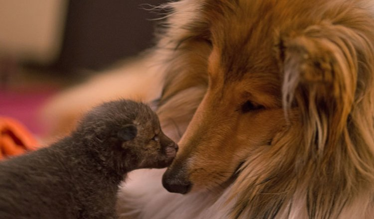 sniff-orphaned-fox-cub-adopted-dog-ziva-dinozzo-germany