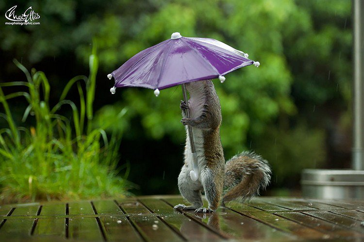 squirrel umbrella wet