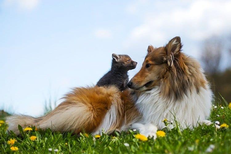 top-orphaned-fox-cub-adopted-dog-ziva-dinozzo-germany