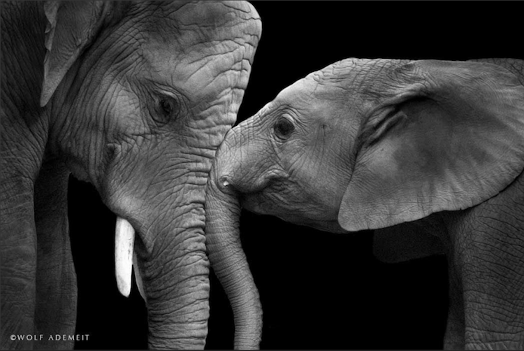 Elephants Love To Be Part Of A Family And These Photos