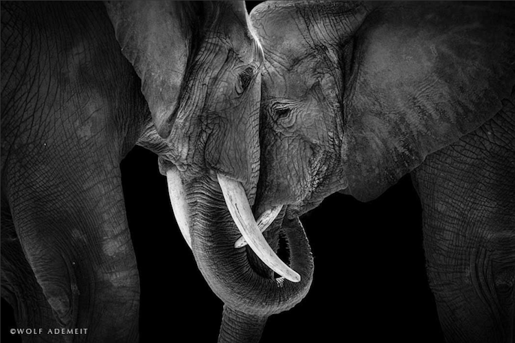 wolf-elephant-love
