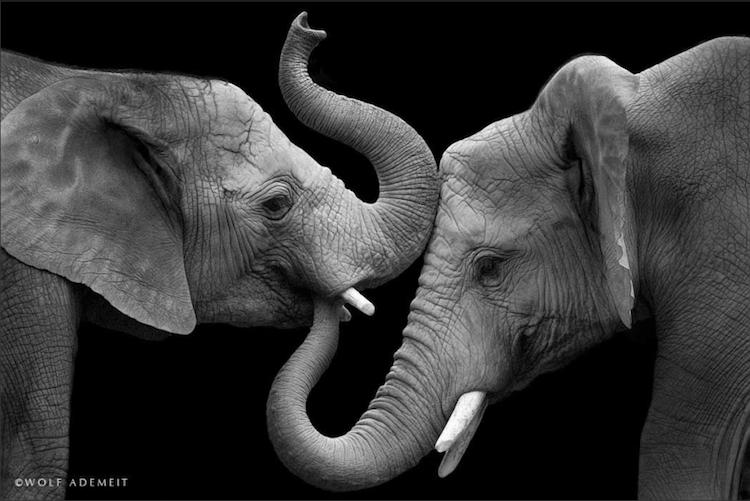 wolf-elephant