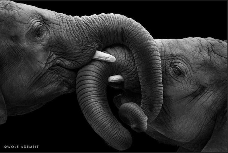 wolf-elephants-loving