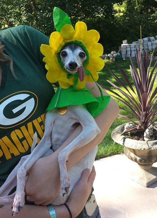 zappa-italian-greyhound-flower
