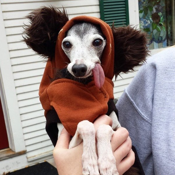 zappa-italian-greyhound-outfit