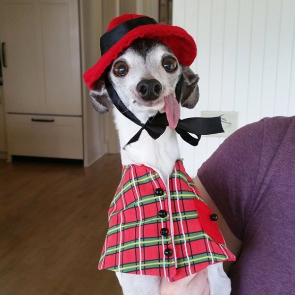 zappa-italian-greyhound-plaid