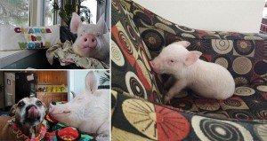 Mini Pig Wont Stop Growing