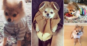 Pomeranian In Clothes