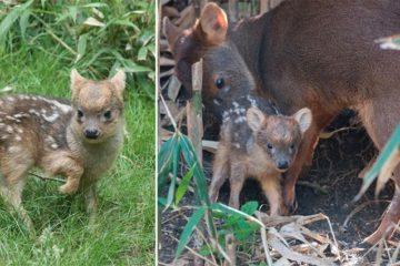 Pudu Deer Queens Zoo NYC