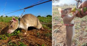 Rats Trained To Sniff Out Landmines