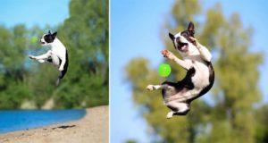 Sadie The Boston Terrier