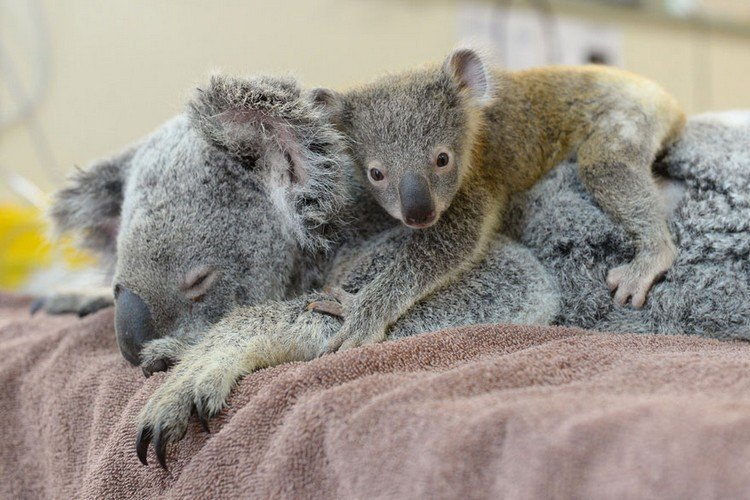 baby koala hugging mom