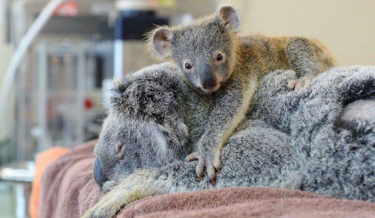 baby koala on mom