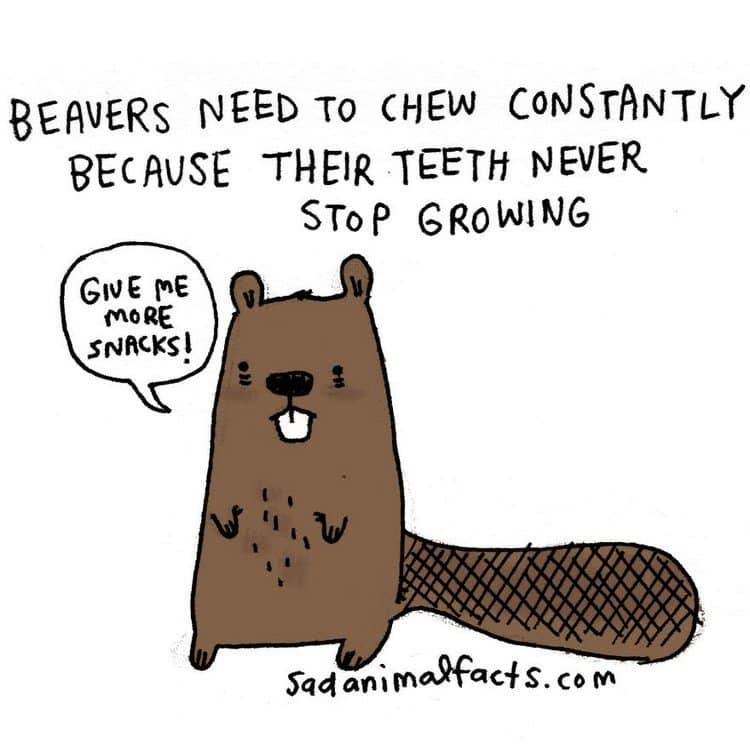 beaver fact