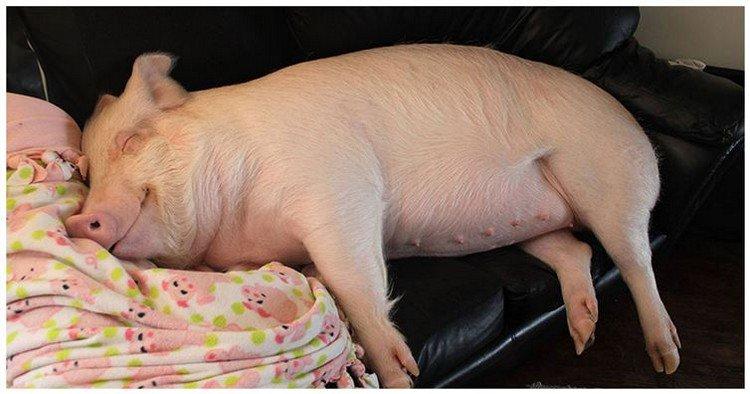 big pig sleeping