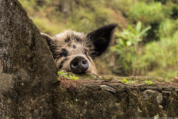 black eared pig