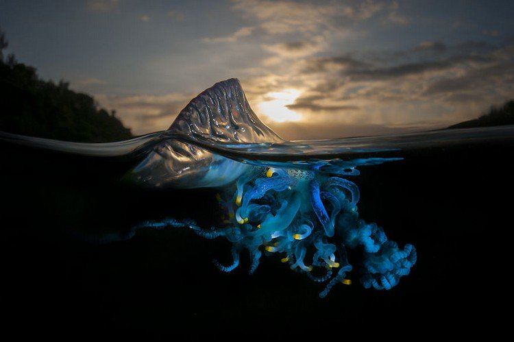 bluebottle cnidaria