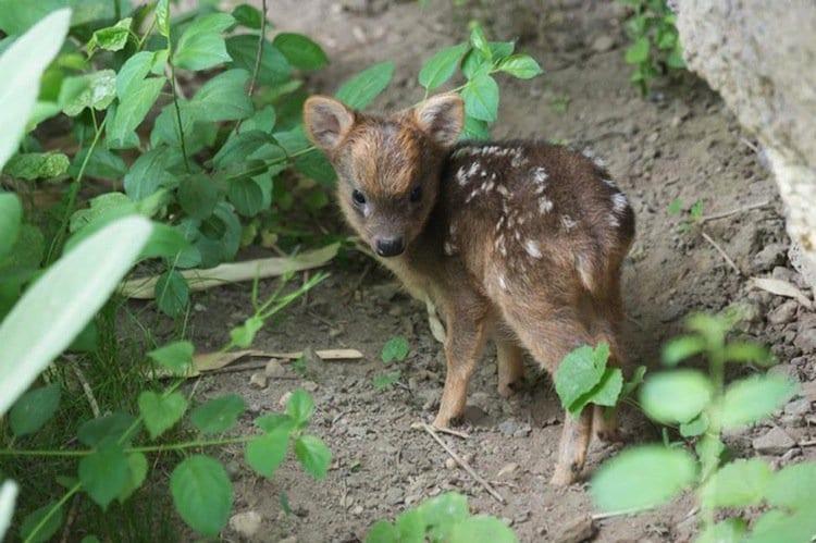 deer-baby