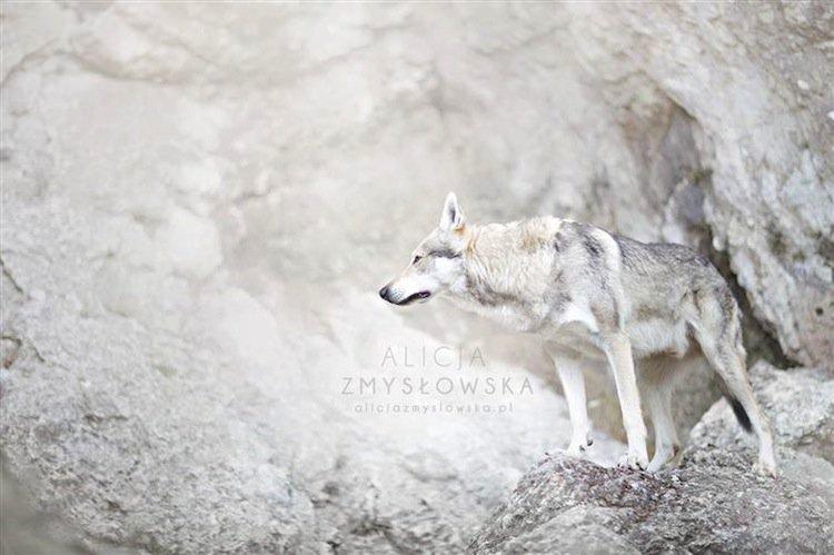 dog-howl