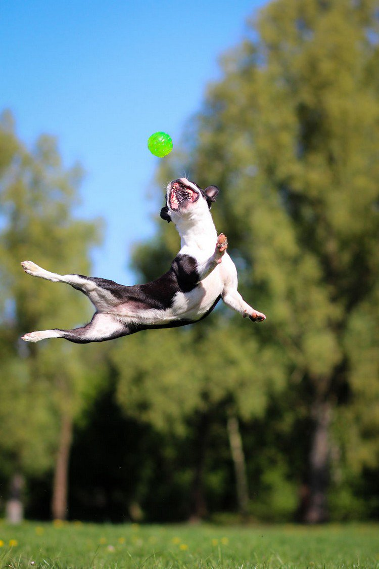 dog jumping open mouth