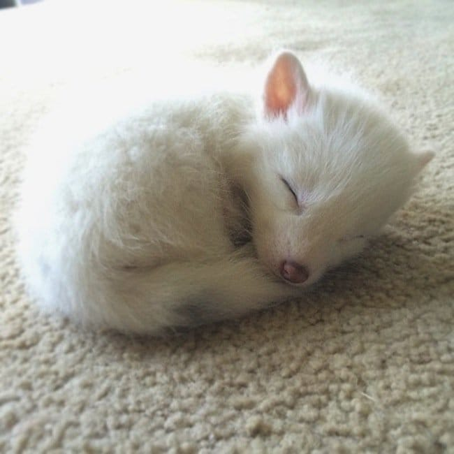 fox-baby