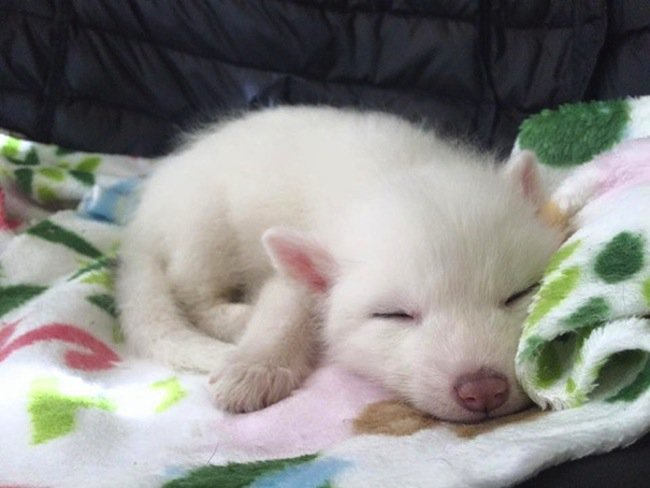fox-sleep