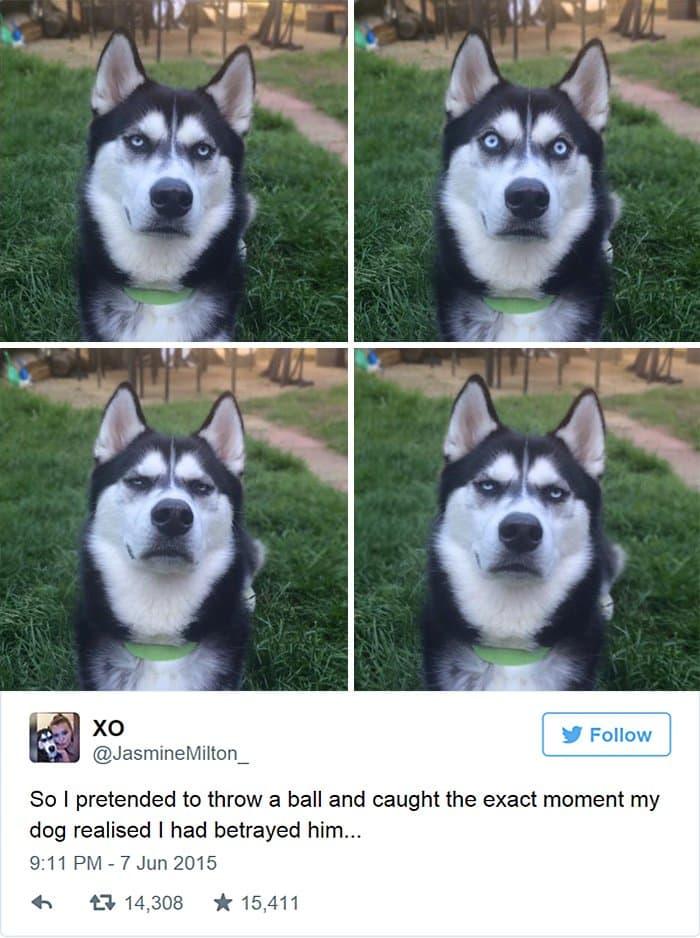 husky not amused