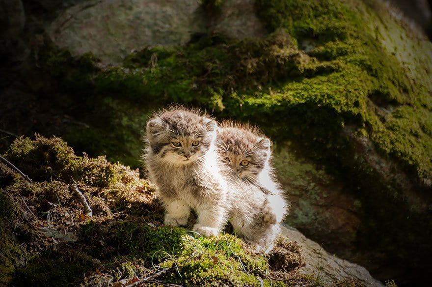 manul-kittens-two