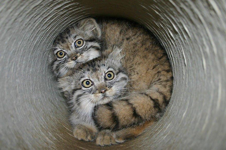 manul-kittens