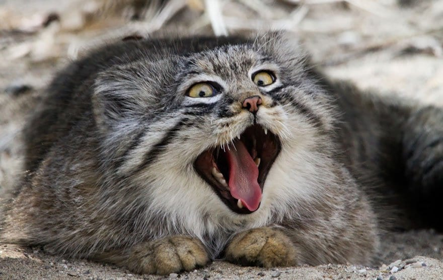 manul-mouth