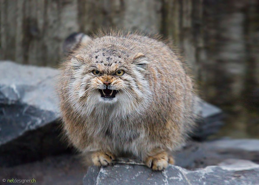 manul-scary