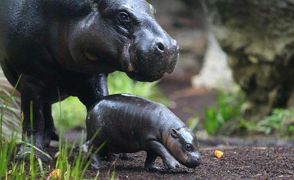 obi-hippo-pygmy