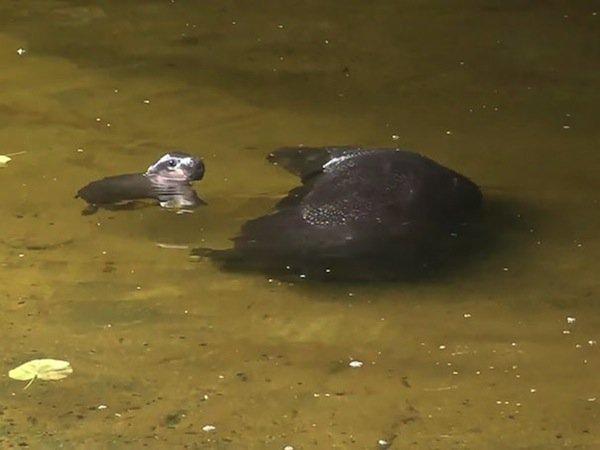 obi-hippo-swim
