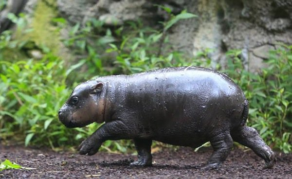 obi-hippo-walking