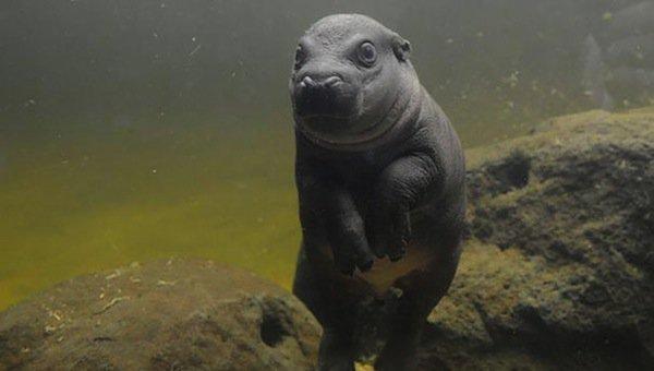 obi-hippo-water