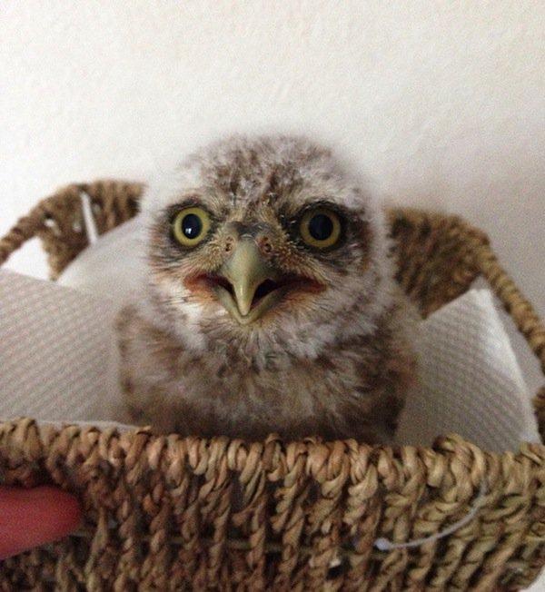 owl-baby