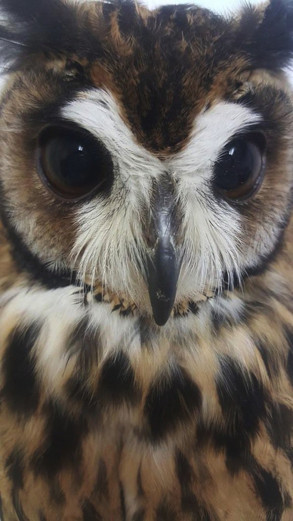 owl-beak