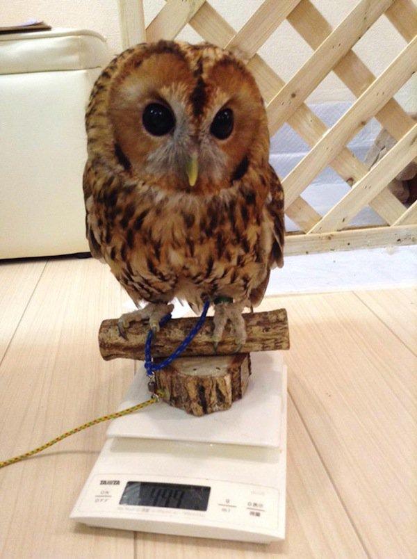 owl-scales