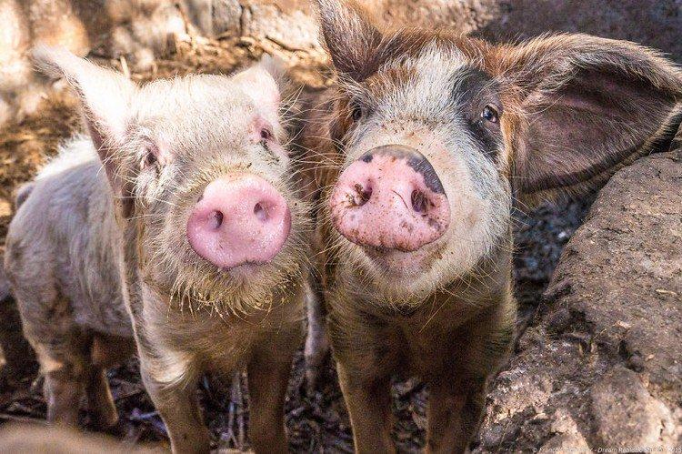 pair pigs