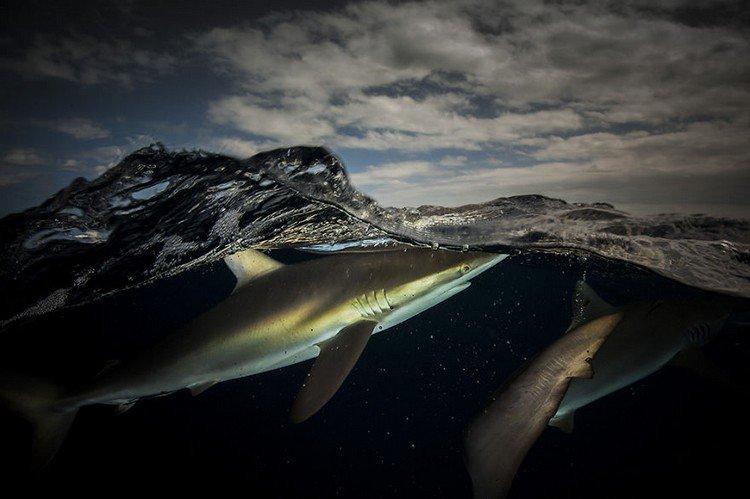 pair sharks