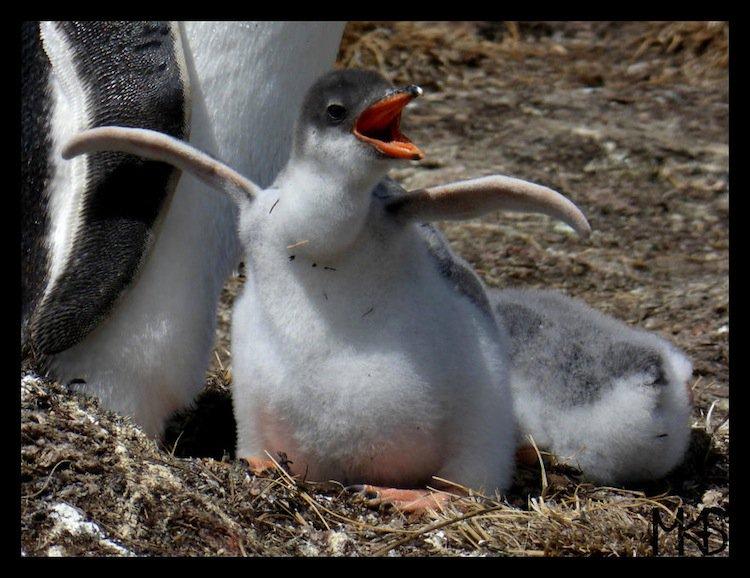 penguins-chick