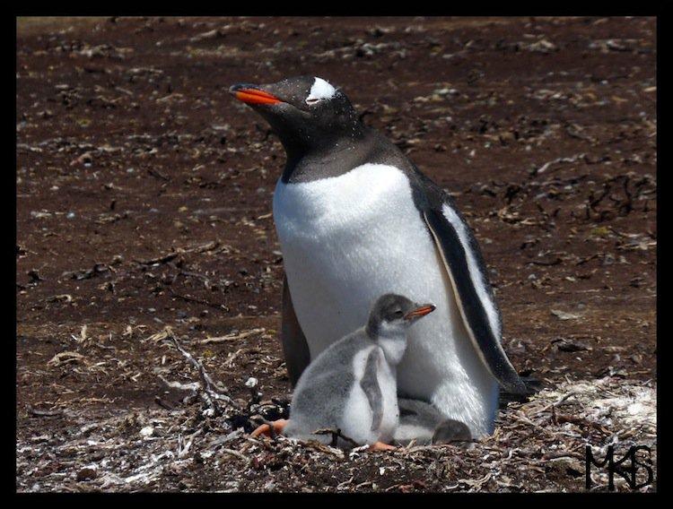 penguins-mum