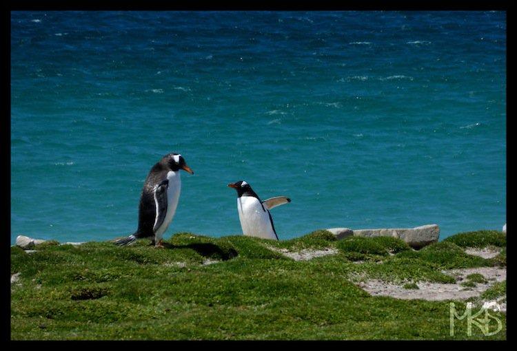 penguins-sea
