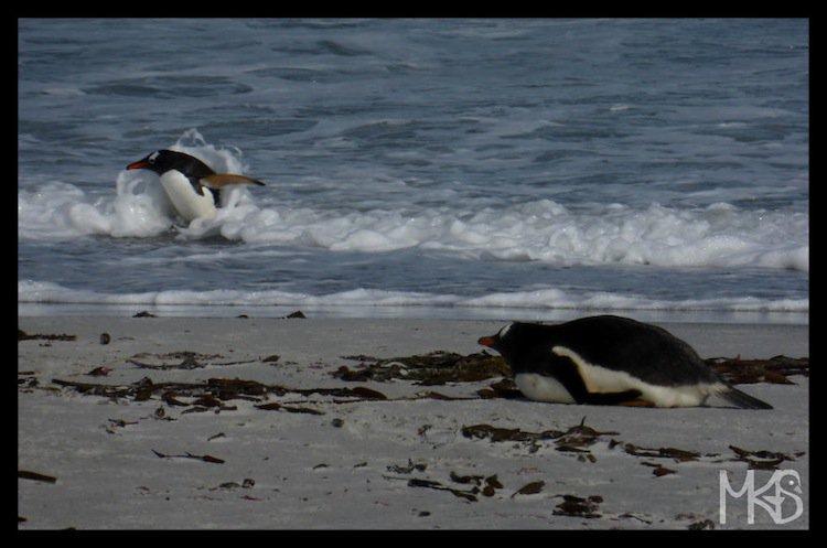 penguins-surf