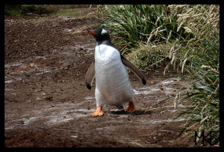 penguins-walk