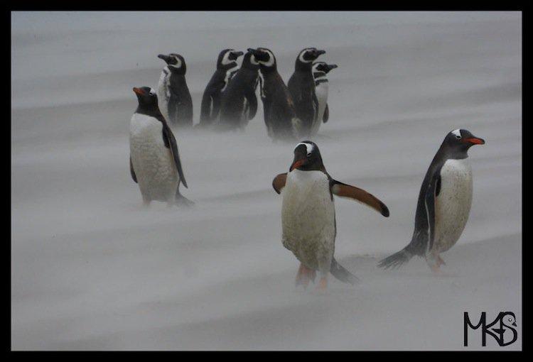 penguins-white