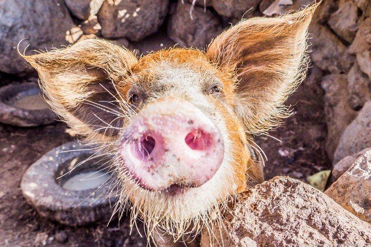 pig nose camera