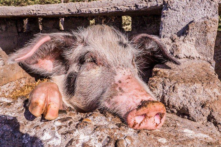 pig wall