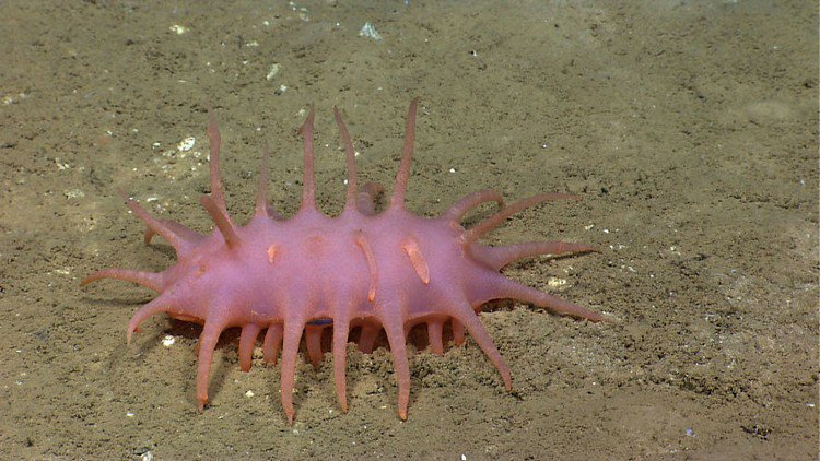 pink spiny