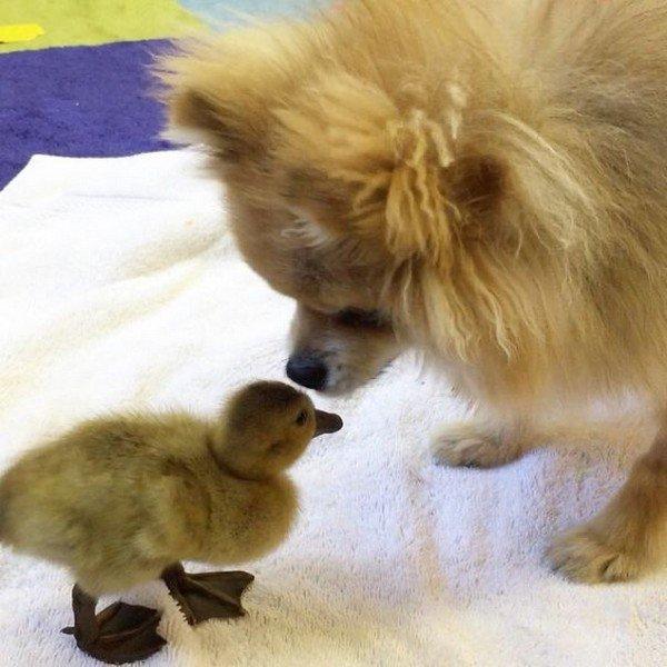 pom duckling